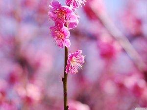安卓风景 春意盎然 桃花 粉红手机壁纸