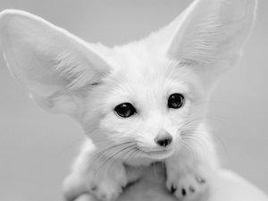 安卓萌宠 野生动物 狐狸 可爱 卖萌手机壁纸