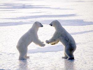 安卓动物 摄影 宽屏 高清 可爱 北极熊手机壁纸